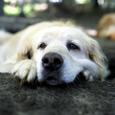 牧場の犬Ⅰ